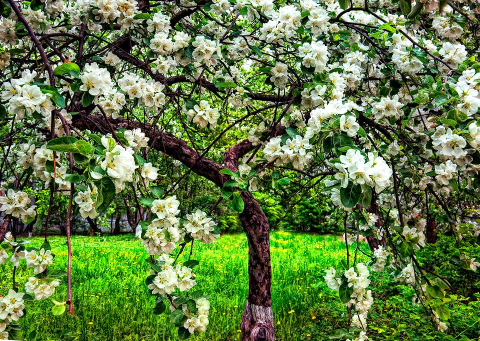 Как посадить яблоню семечками